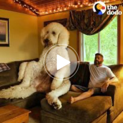 The Dodo - Giant Dog Weighs Over 450 Pounds | Facebook